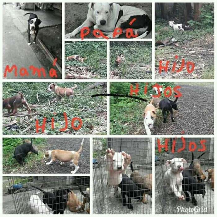 Cachorros Pitbull a La Venta