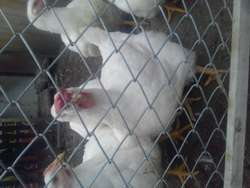 gallinas doble pechuga