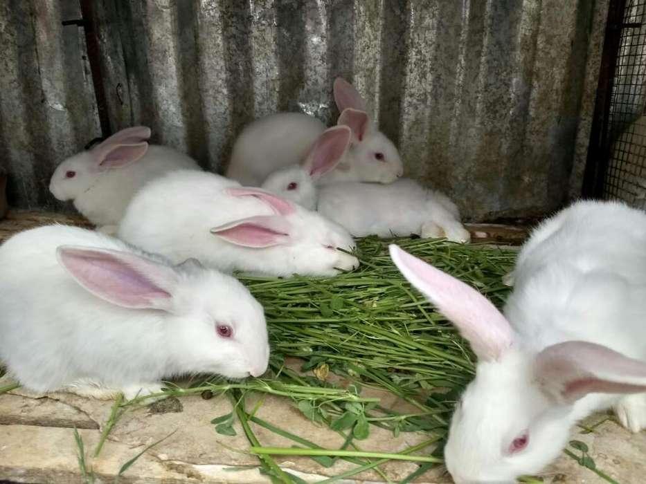Conejos Flandex