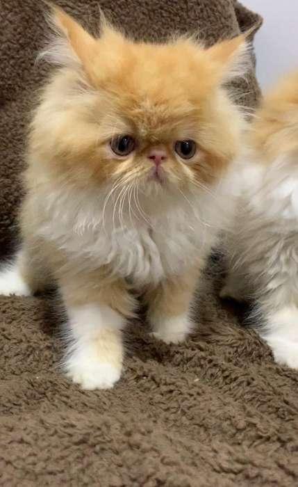 Hermosos Gatos Persa