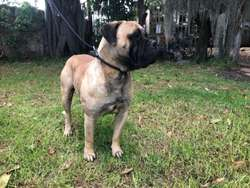cachorros bullmastiff con stanfordshire (pitbull)