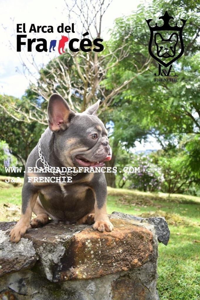 Monta Bulldog Frances Lilac and Tan El arca del Frances Importado de Europa PROMO DEL MES.