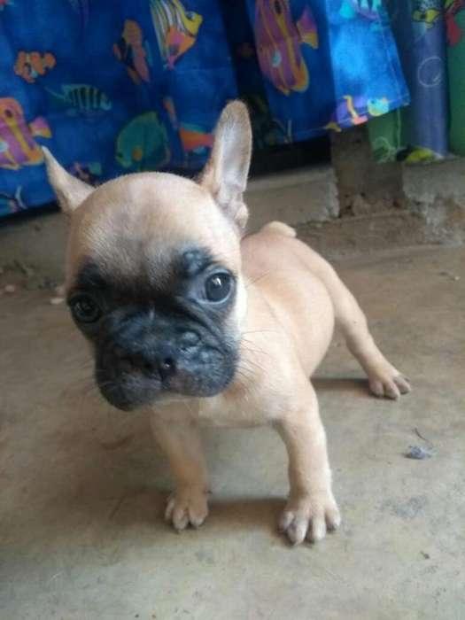 Bull Dog Frances 50 Dias 3205640370