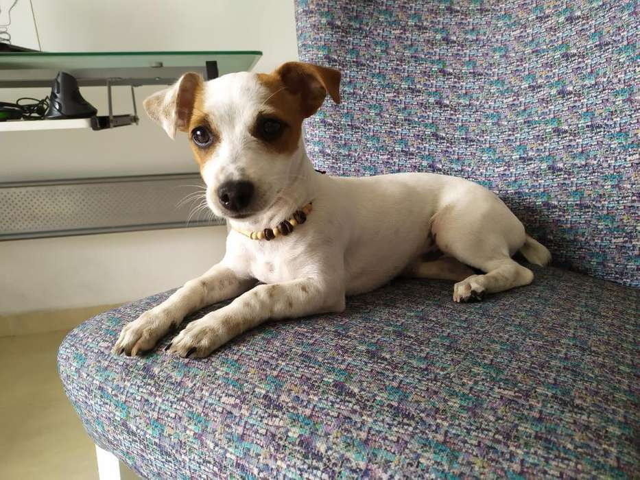 <strong>perro</strong> Jack Russell