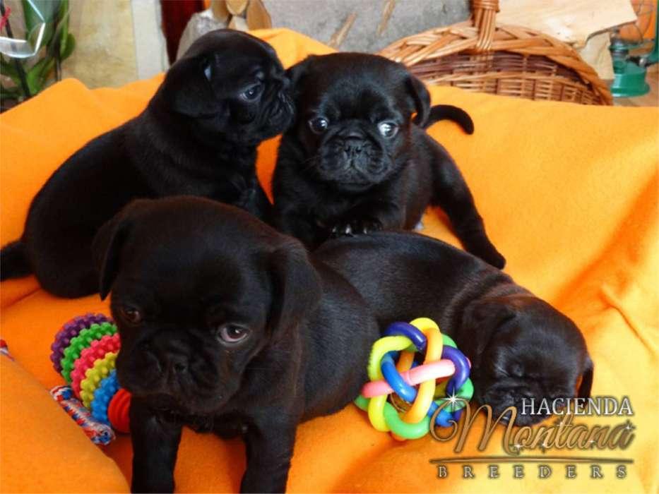 <strong>cachorro</strong>S PUG NEGRO A LA VENTA EN ARMENIA