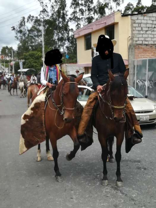 Se Vende <strong>caballo</strong> Y Yegua Colombianos