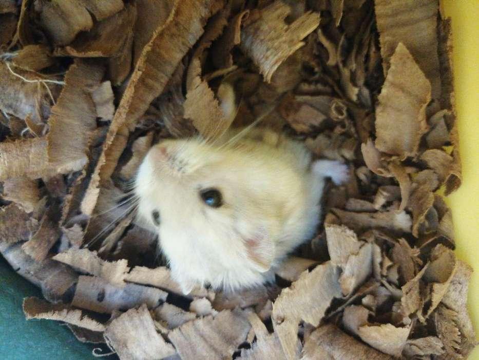 Hamster Ruso