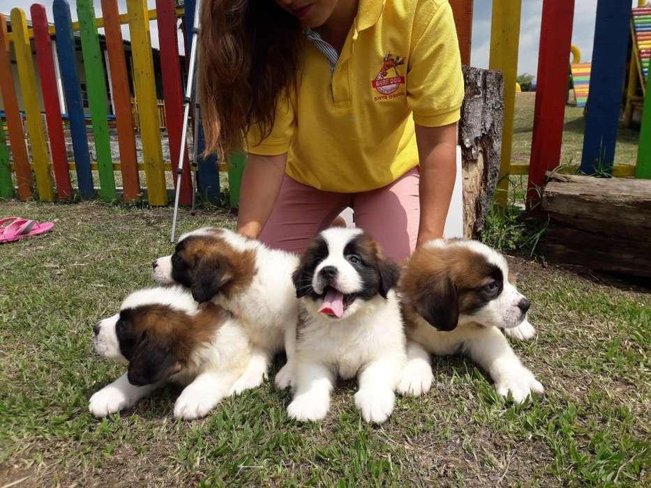 SAN BERNARDO EXCELENTES <strong>cachorro</strong>S