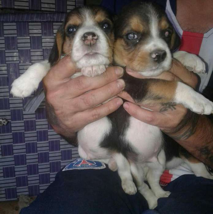 Vendo Perritos Beagles Tricolor