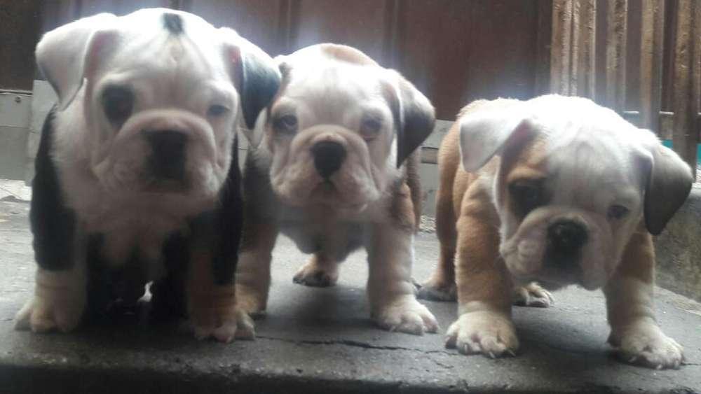 Cachorros <strong>bulldog</strong> Imgles