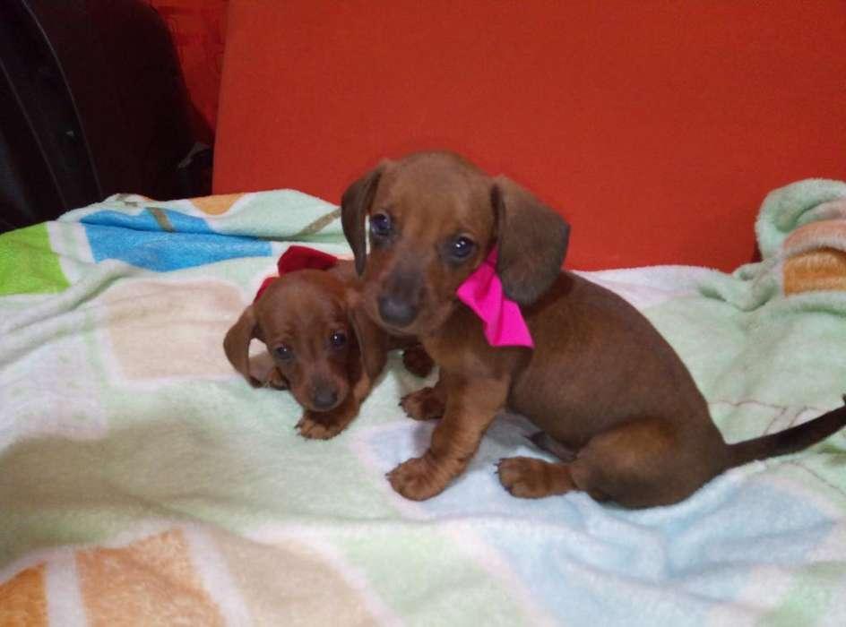 Hermosos <strong>cachorro</strong>s Salchichas Tecklen