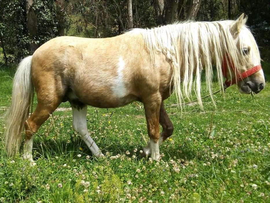 Caballos pony