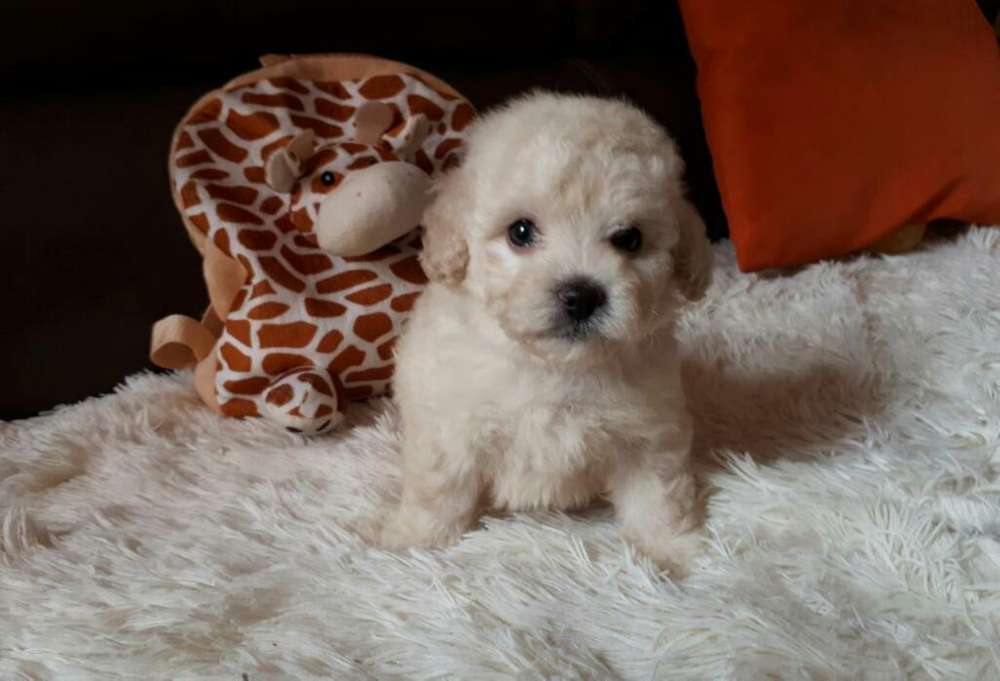 Minis French Poodle