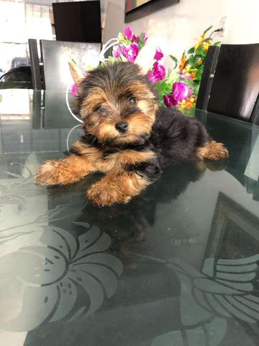 Yorkshire Terrier Super Precioso