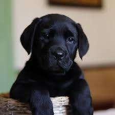 Venta de <strong>cachorro</strong>s Labrador Retriever