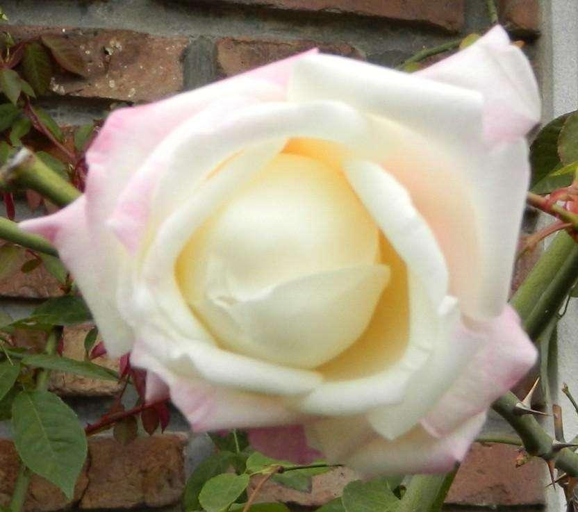 Plantines de rosa blanca
