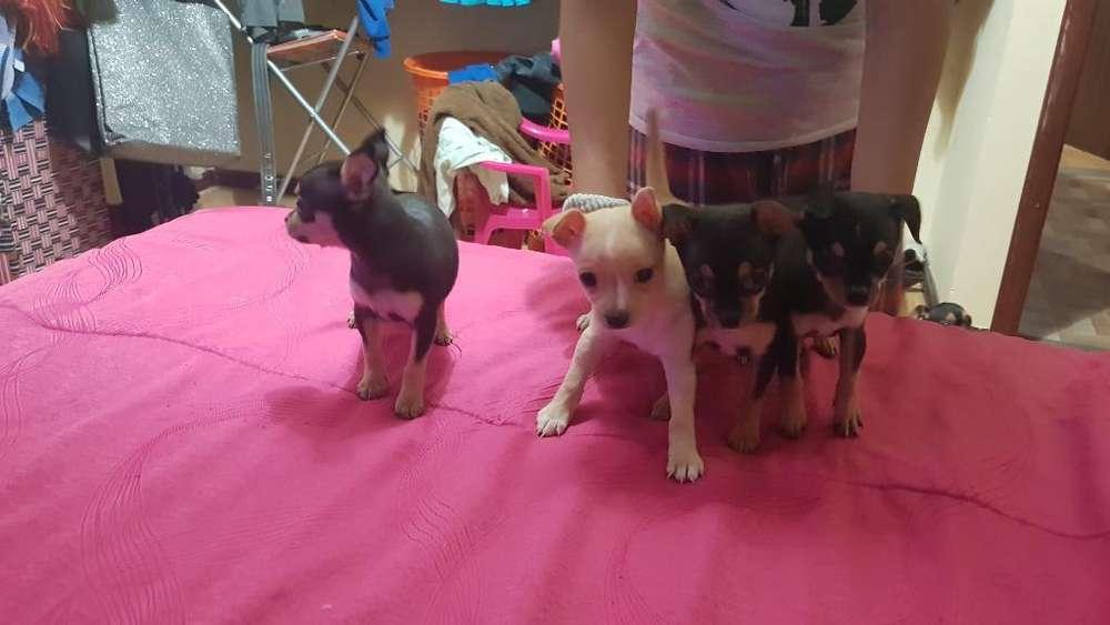 Vendo 4 Chihuahuas 2 Machos Y2 Hembras