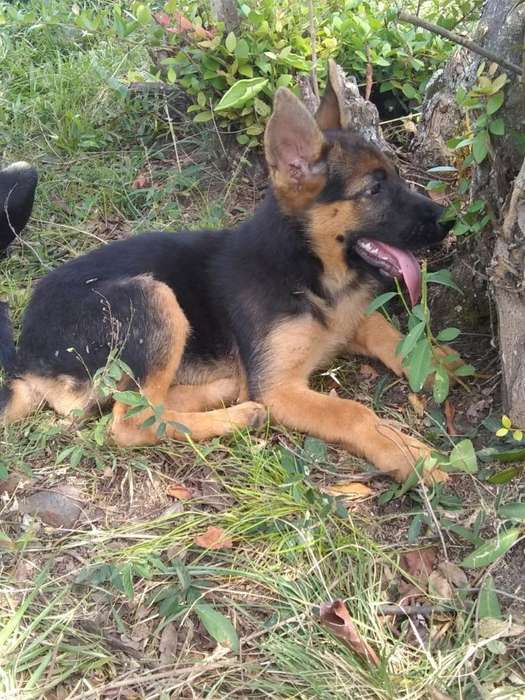 Cachorros Pastor Alemán Dispónibles