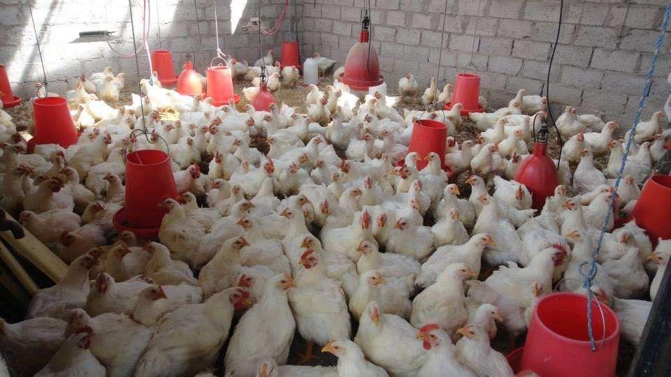 Venta de Pollo Faenado