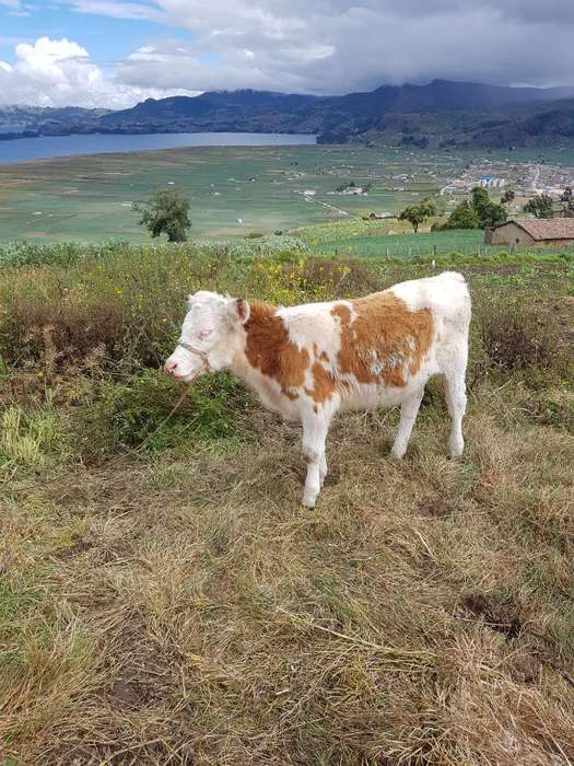 Cruce Normando Simmental