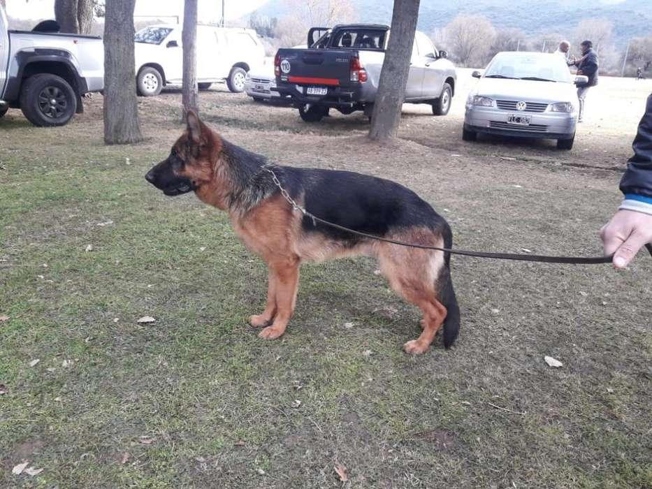 Cachorro Ovejero Aleman