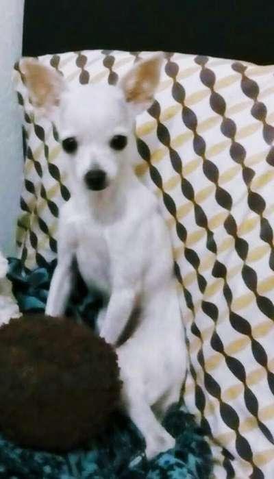 Vendo Perita Chihuahua Cabeza de Manzana