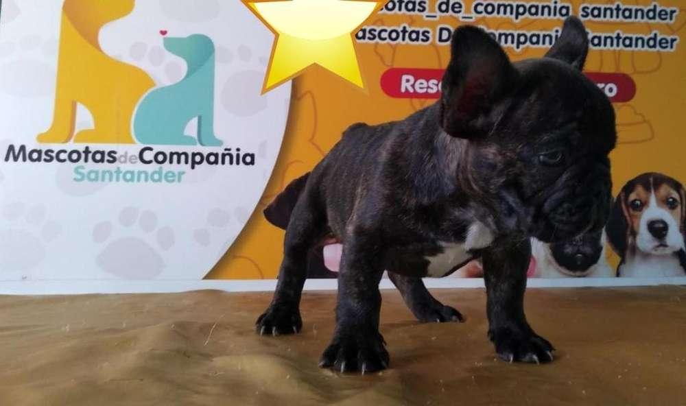 Robusto Enano Bulldog Francés
