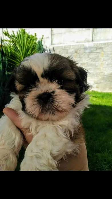 Shih Tzu Machos Y Hembras Disponibles
