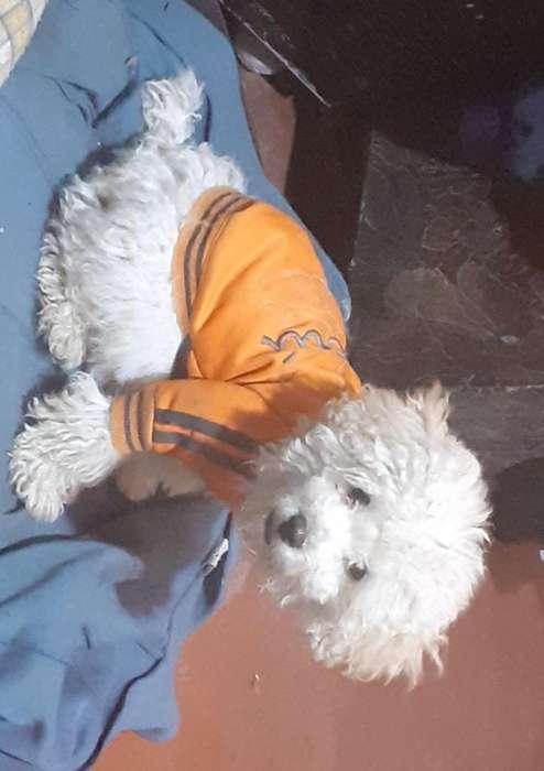 Divertids Cachorrs Yorkshire Terrier Toy
