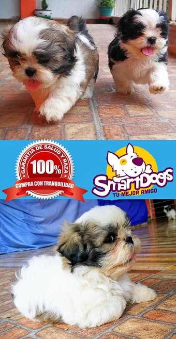 Shihtzu Criadero Especializado Shitzu