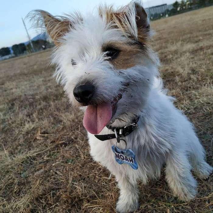 Busco <strong>perra</strong> Jack Russell Terrier para cruzar
