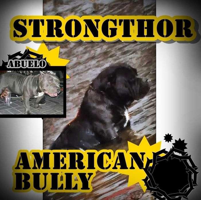 Perro se pone a servicio de monta American bully exelente estructura moloso