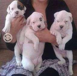 en venta full <strong>boxer</strong> albinos