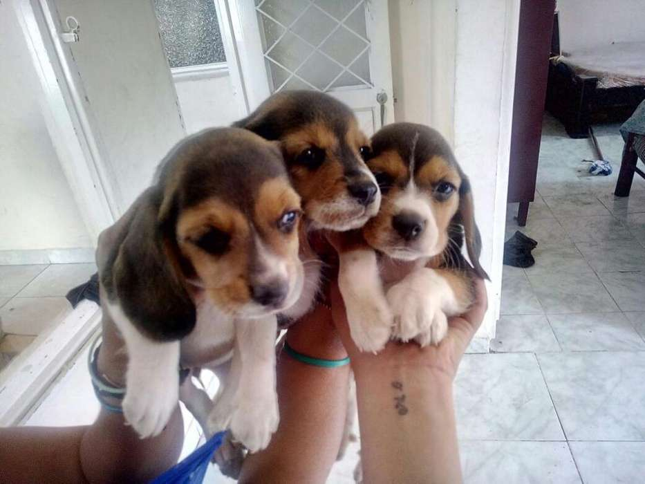 Cachorros Beagles Tricolor Patas Cortas