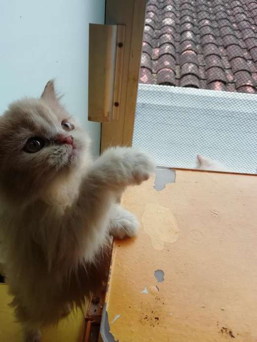 Venta de Gatos Persa Americanos Himalayo