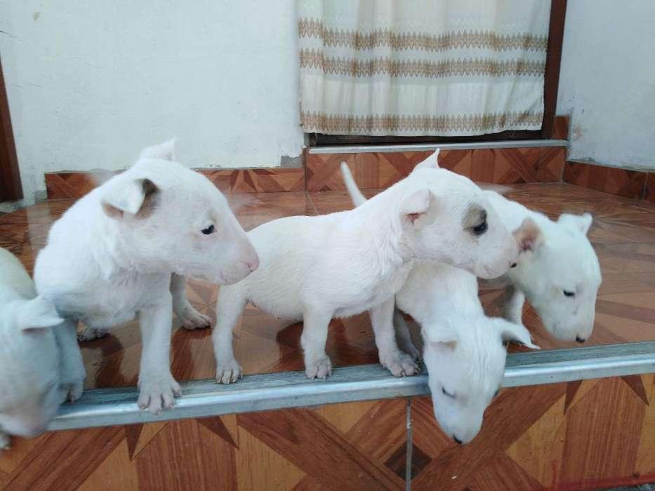 Bull Terrier Precio a Tratar