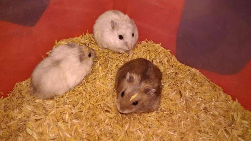 Hermoso Hamster Ruso