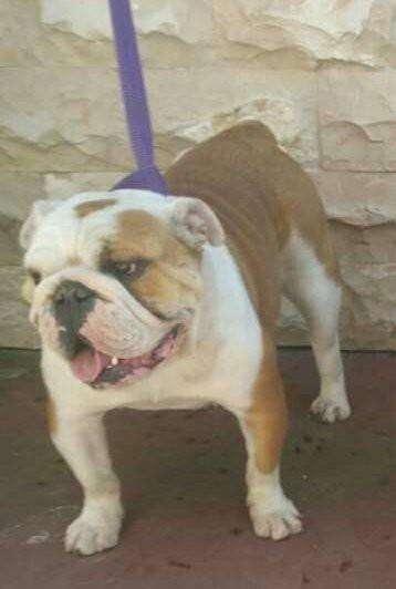 Perrita <strong>bulldog</strong> ingles