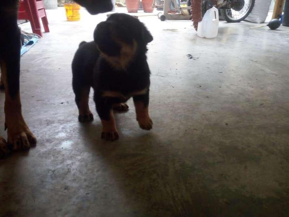Vendo cachorros rottweiler 0958895907