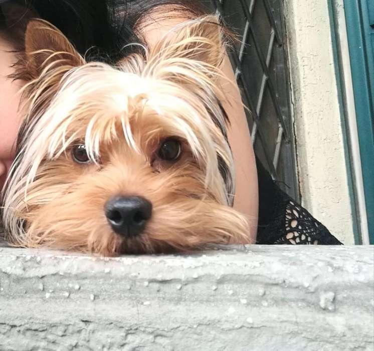 Yorkshire Terrier en Busca de Novia