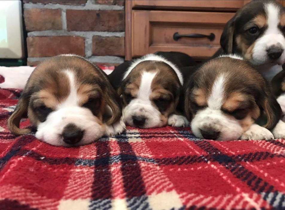 beagle cachorros 1566709347