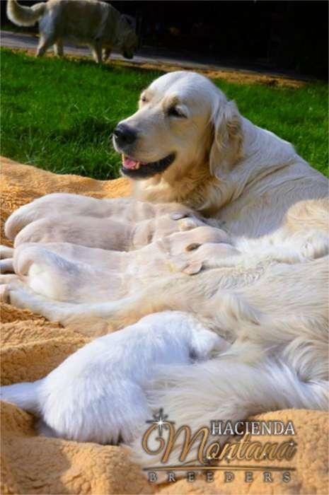 <strong>cachorro</strong>S GOLDEN RETRIEVER / ¡EXCLUSIVA! SELECCIÓN GENÉTICA / ENVÍOS A TODO EL PAÍS
