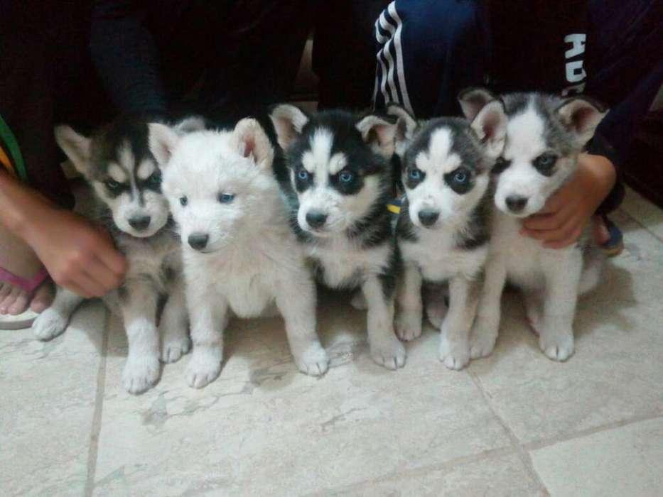 Cachorritos Husky