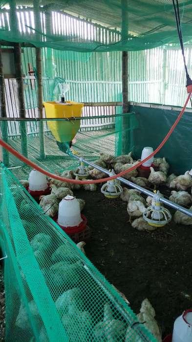 Vendo Comedor Pollos Automatico Y Sensor