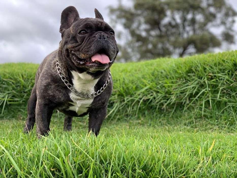 Bulldog Francés Disponible Para Montas