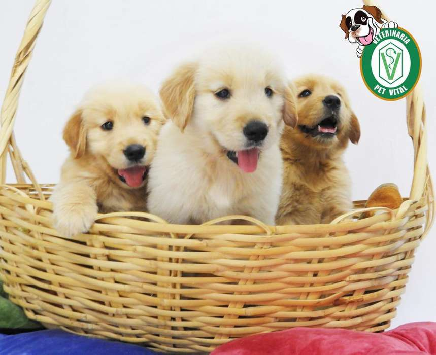 CACHORROS HERMOSOS GOLDEN RETRIEVER EN PET VITAL !!!