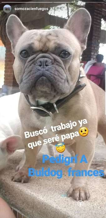 Bulldog Frances Blue Found para Monta