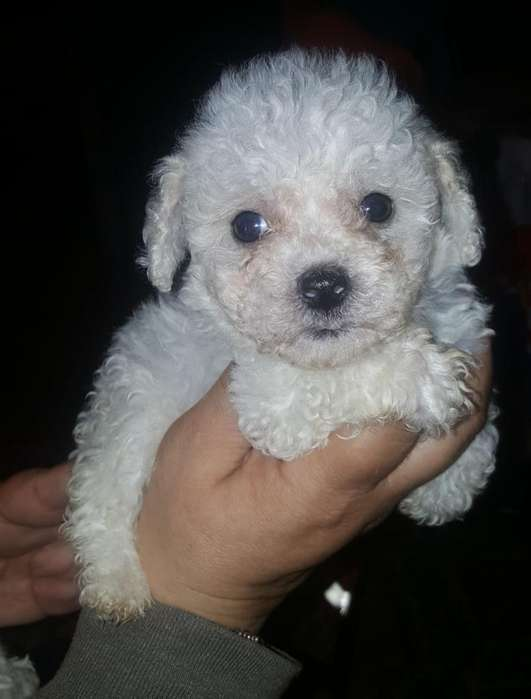 Se Venden Perritos French Poodle