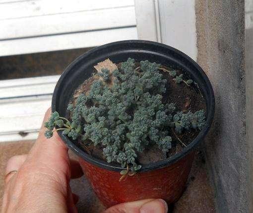 sedum dasyphyllum minor maceta 9