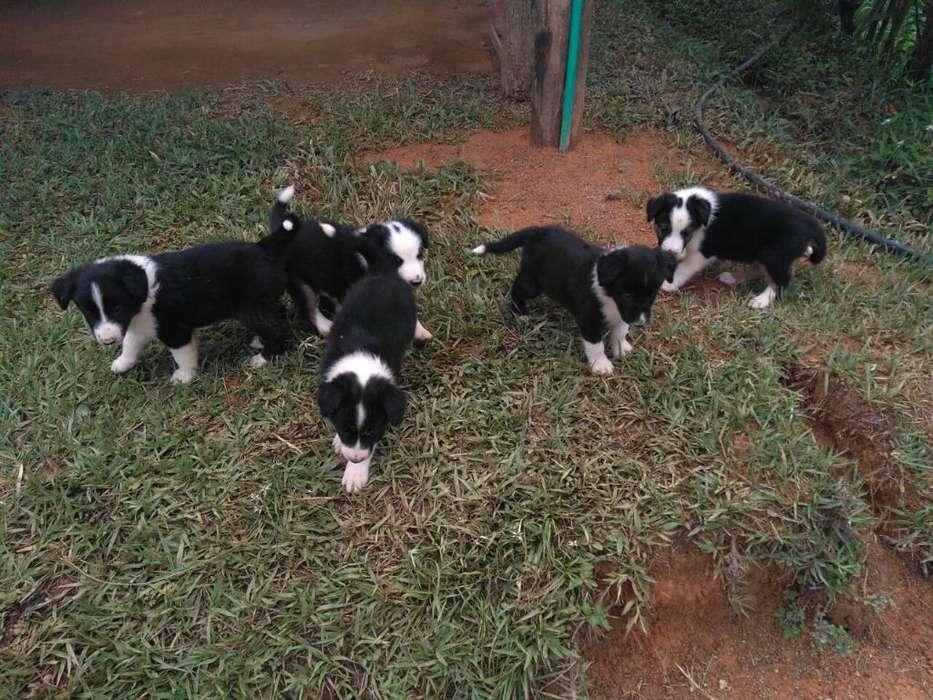 Espectaculares Cachorros Border <strong>collie</strong>